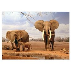 INDIAN ELEPHANT FAMILY Poster
