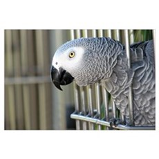 Helaine's African Gray Poster