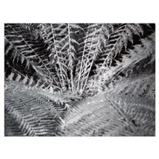 Silver Fern in the Otways Framed Print