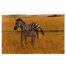 African Zebra and Baby Poster