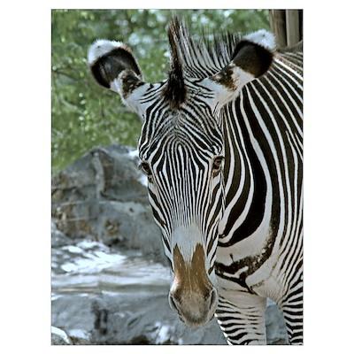 Zebra Ears Poster
