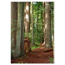 A view in the redwoods I Poster