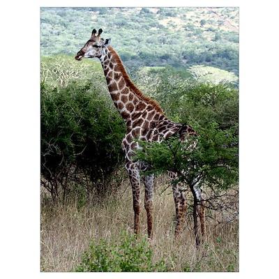 Standing Giraffe Poster