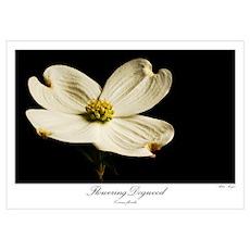 Flowering Dogwood Poster
