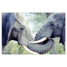 Wild Elephant Love Photo. Poster