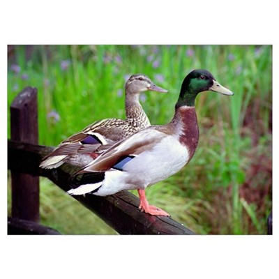 2 Mallards On a Fence Poster