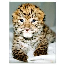 Amur Leopard cub Poster
