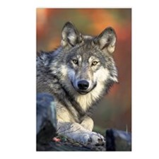 Face of the Timber Wolf Postcards (Package of 8)
