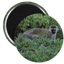 Vervet Monkey Magnet