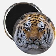 Siberian Tiger Photograph Magnet