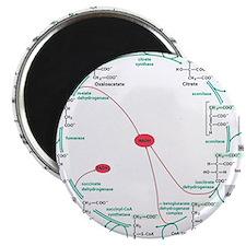 Kreb's Cycle Magnet