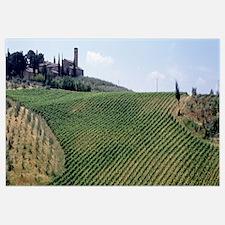 Vineyards and Olive Grove outside San Gimignano Tu