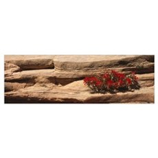 Indian Paintbrush in Rocks UT Poster