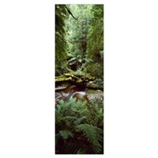 Nelson River Forest Reserve Queenstown Tasmania Au Poster
