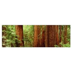 Redwoods Muir Woods CA Poster