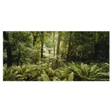Tropical forest N Isl New Zealand Poster