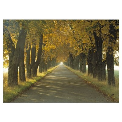 Road w/Autumn Trees Sweden Poster