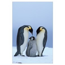 Royal Penguins and Baby Poster
