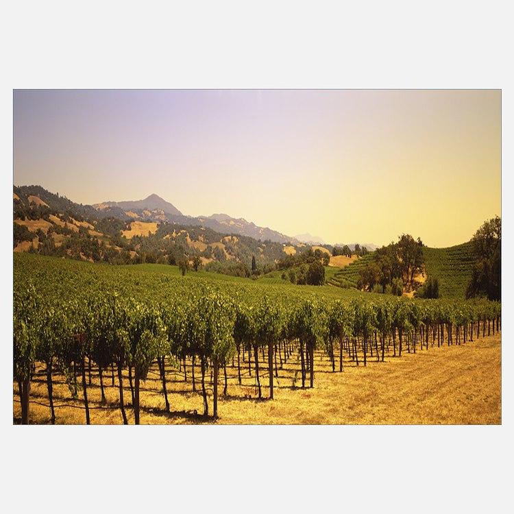 Vineyard Sonoma Co CA