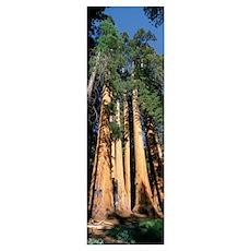 Giant Sequoias CA Poster