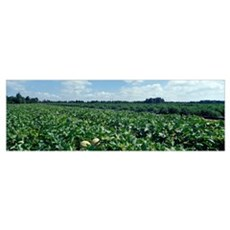 Cantaloupe Field MD Poster