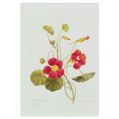 Nasturtium (coloured engraving) Framed Print