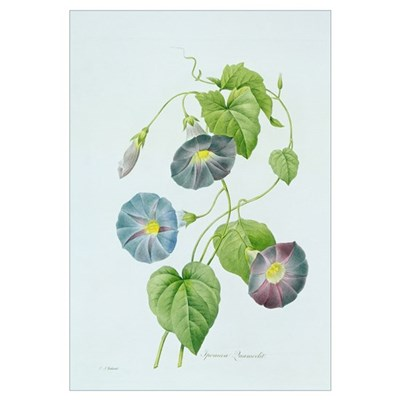 Morning Glory (colour engraving) Canvas Art