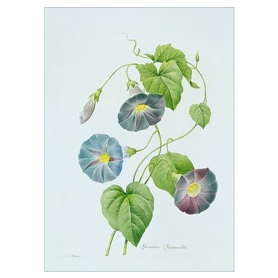 Morning Glory (colour engraving) Poster