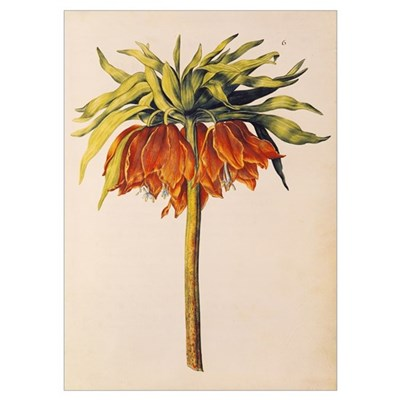Crown Imperial Lily or Fritillary, from La Guirlan Poster