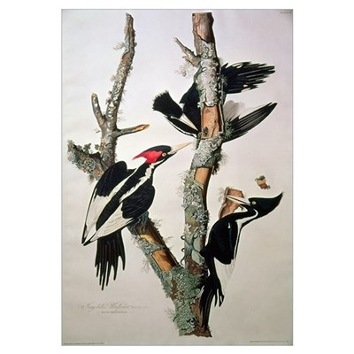 Ivory-billed Woodpecker, from 'Birds of America', Poster