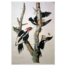 Ivory-billed Woodpecker, from 'Birds of America',  Framed Print