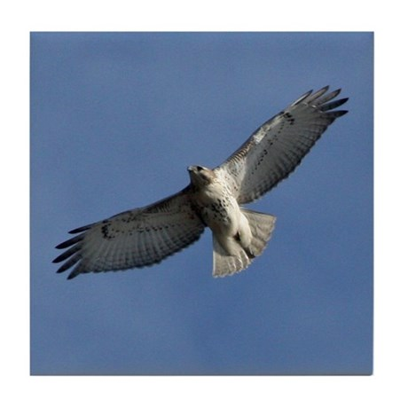 Juvenile Red-tailed Hawk Tile Coaster
