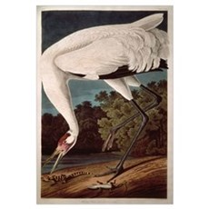 Whooping Crane, from 'Birds of America' Framed Print