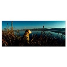 Yellow Labrador Retriever Duck Hunting MT Poster