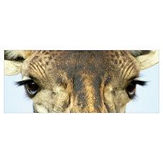 Close-up of a Maasai giraffes eyes Poster
