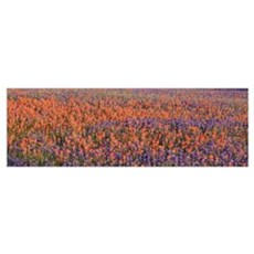 Texas Bluebonnets and Indian Paintbrushes in a fie Poster