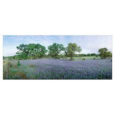 Field of Bluebonnet flowers, Texas Poster