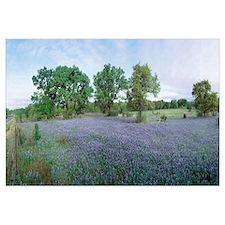 Field of Bluebonnet flowers, Texas