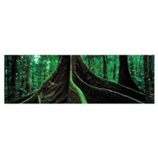 Roots of a giant tree, Daintree National Park, Que Poster