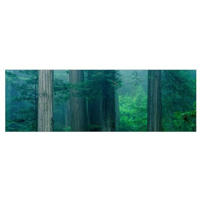 Trees in a forest, Redwood National Park, Californ Poster