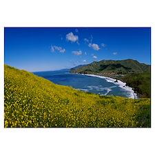 Wildflowers at the coast, Marin Headlands, Califor