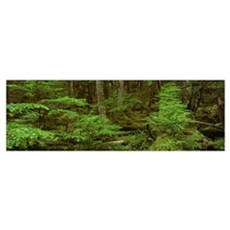 Moss covered trees in the forest, Tongass National Poster