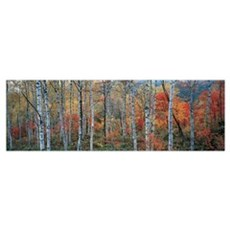 Fall Trees, Shinhodaka, Gifu, Japan Poster