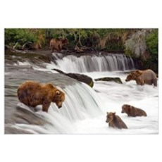Grizzly bears fish at Brooks Falls in Katmai Natio Canvas Art