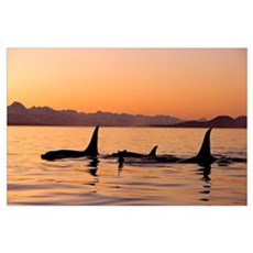 Orca Whales surface in Lynn Canal at Sunset with C Poster