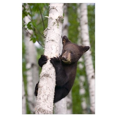 Young black bear cub in birch tree Minnesota fores Poster