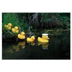 Rubber Ducks in a Row Pond Southcentral Alaska Poster