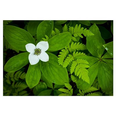 Close up of dwarf dogwood flower and ferns, Turnag Framed Print