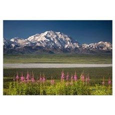 Mt. McKinley and the Alaska Range with fireweed fl Framed Print
