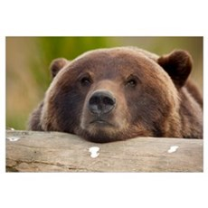 Grizzly bear rests its head on a log at the Alaska Framed Print